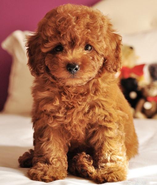 Cách Chăm Sóc Chó Poodle Đúng Kỹ Thuật | Chó Poodle Luôn Khỏe Mạnh