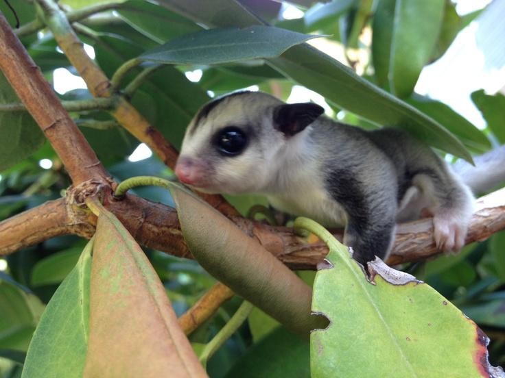 Cách Nuôi Sóc Bay Úc Cho Người Mới Bắt Đầu