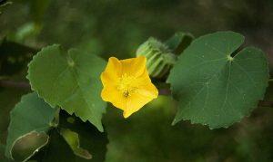 Hình ảnh của lá, hoa và quả của cây Cối xay