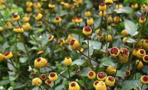 Tên khoa học: Spilanthes acmella L. Murr. Thuộc họ Cúc Asteraceae.