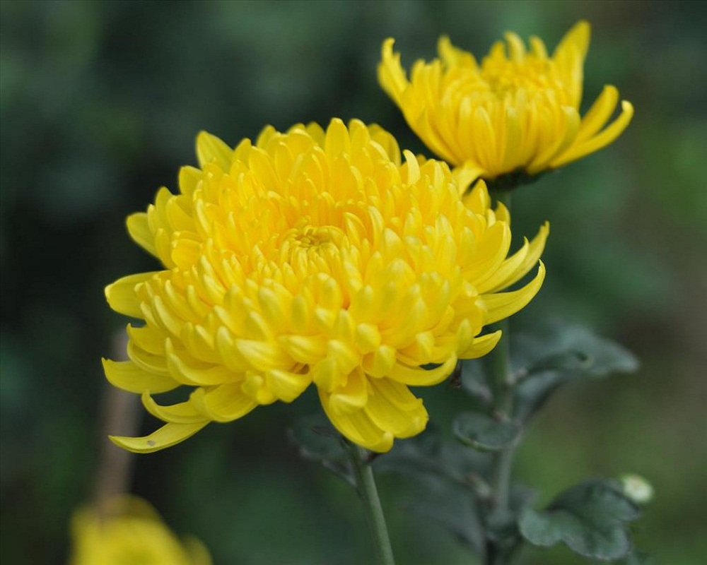 Cúc hoa vàng – không chỉ là một loài hoa
