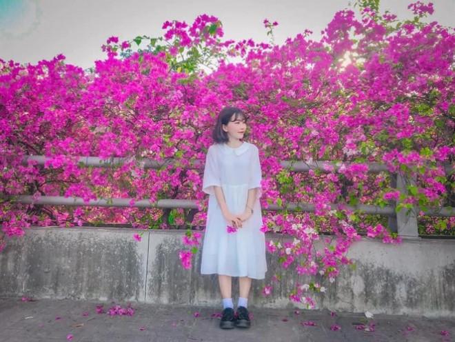 """Hà Nội: Cây cầu hoa giấy bất ngờ bung nở trở lại, check-in """"sương sương"""" có ngay ảnh đẹp! - 1"""