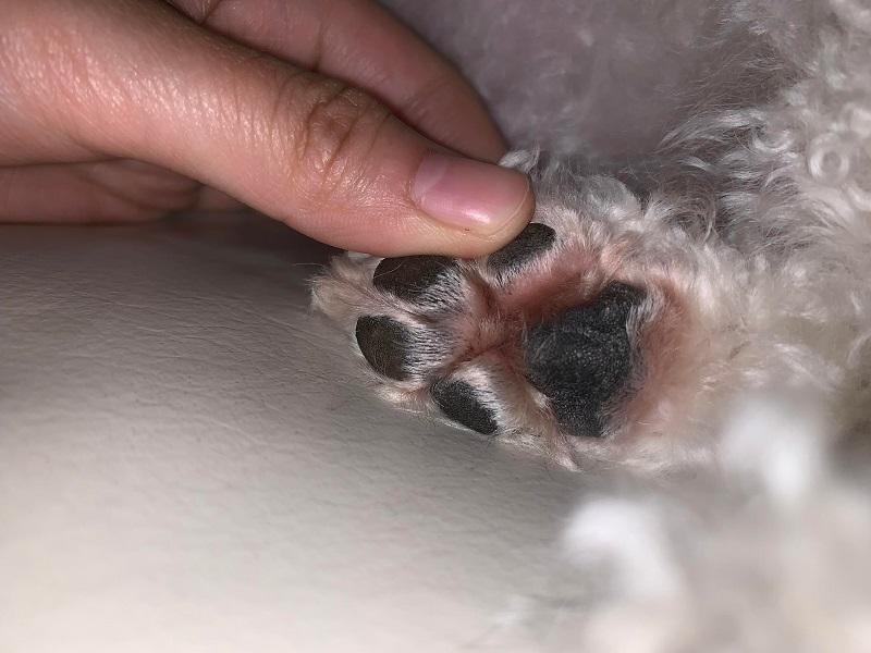 Tại sao chó liếm chân của chúng?