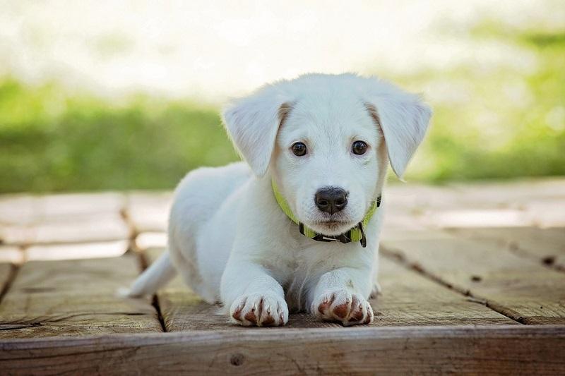 Phòng ngừa giun tim tốt nhất cho chó con