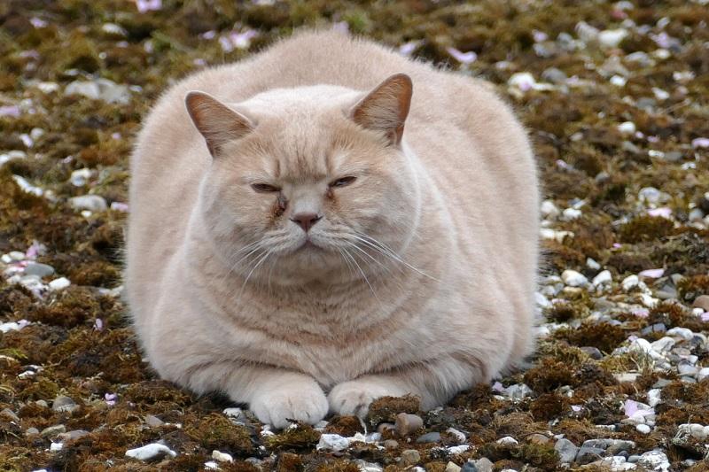 Chăm sóc chó mèo bị bệnh béo phì