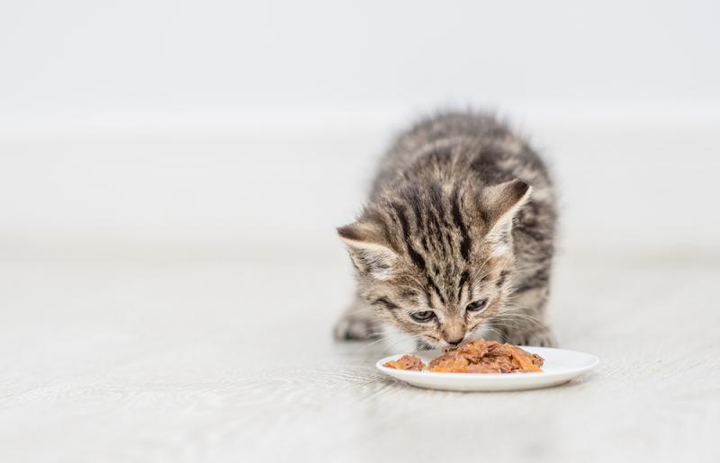 Chế độ ăn cho mèo con theo từng giai đoạn