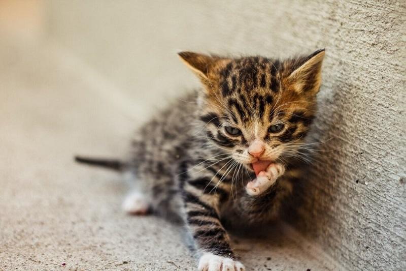 Cho mèo con ăn gì để phòng và chữa bệnh tiêu chảy