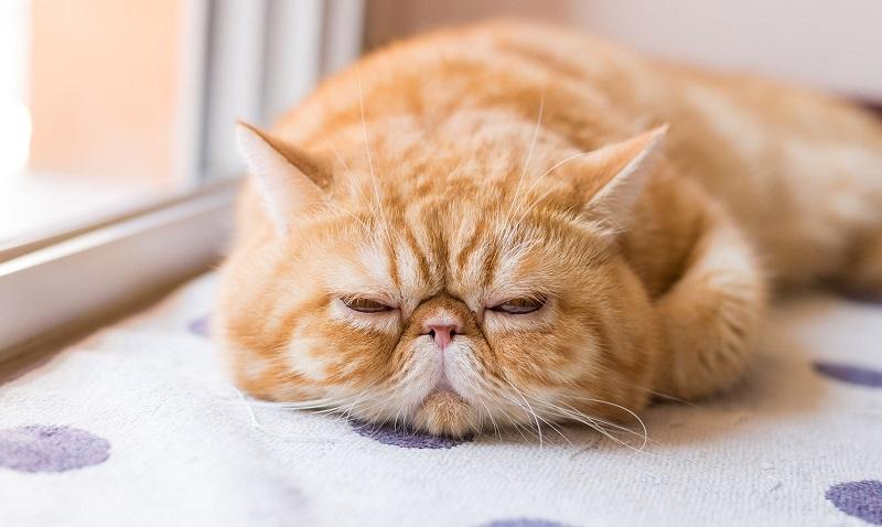 Top 6 giống mèo đẹp nên mua tại Chợ Tốt thú cưng