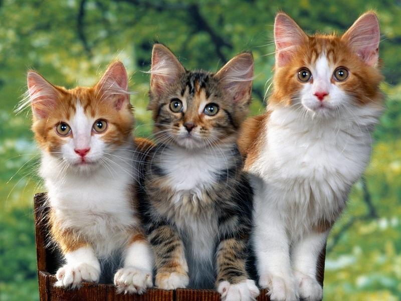 Cách chọn mua mèo đẹp tại Chợ tốt thú cưng
