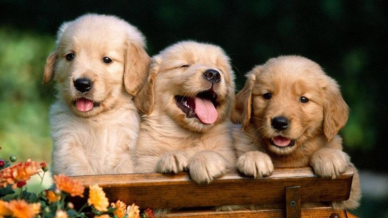 Có nên mua chó ở chợ tốt thú cưng không ?