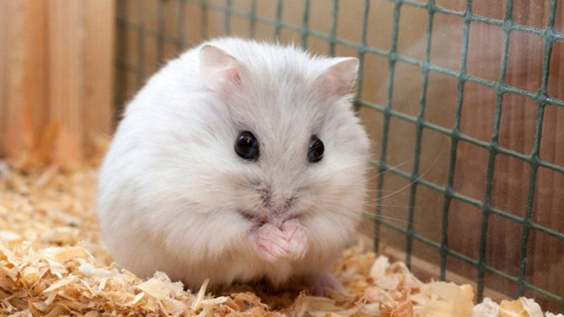 9 Sự thật về chuột Hamster bạn chưa biết