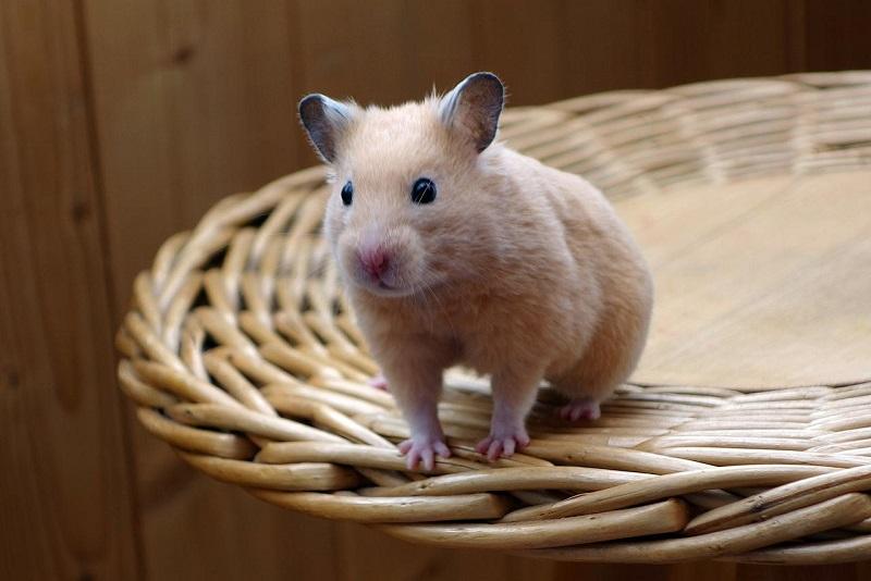 Hướng dẫn nuôi chuột Hamster từ A – Z