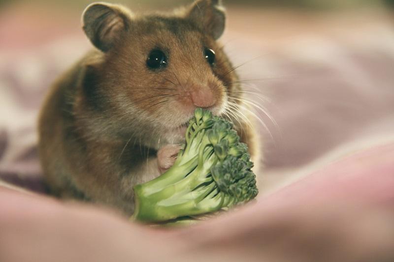 Chia sẻ bí quyết chọn chuột Hamster khỏe mạnh