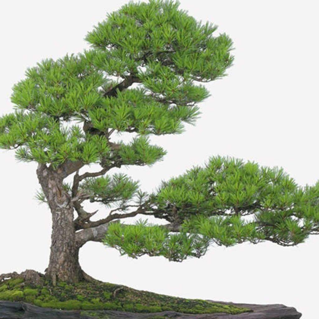 Các loại cây phong thủy phù hợp với người mệnh Thủy