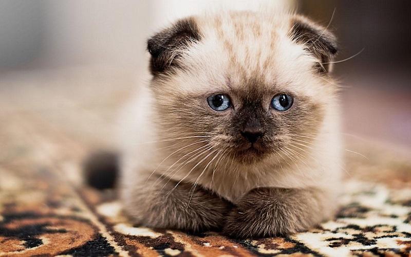5 căn bệnh thường gặp ở mèo con
