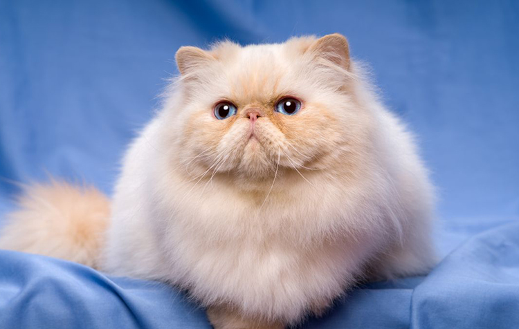 5 điều thú vị về giống mèo Ba Tư