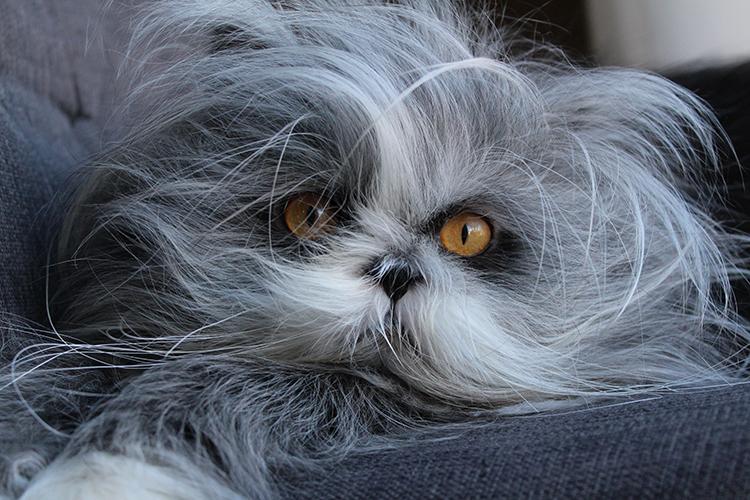 Những điều chưa biết về bộ lông của mèo Ba Tư