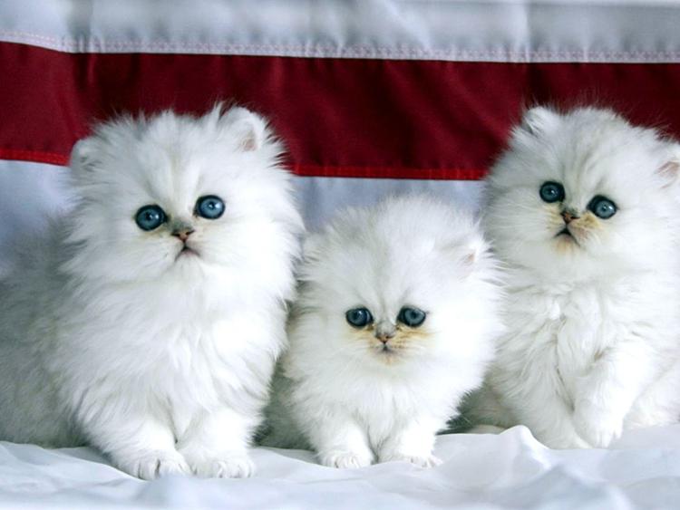 3 lí do khiến mèo Ba Tư được yêu thích trên toàn thế giới