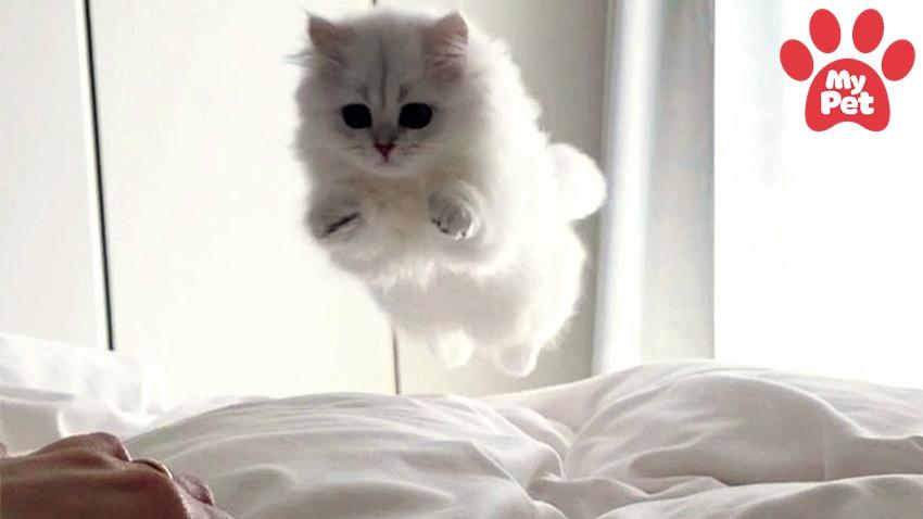 5 lí do giải thích cho sự lười biếng của mèo Ba Tư