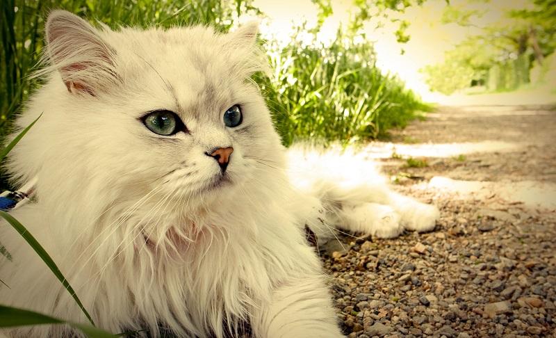 Cách chăm sóc mèo lông dài chuẩn Spa thú cưng