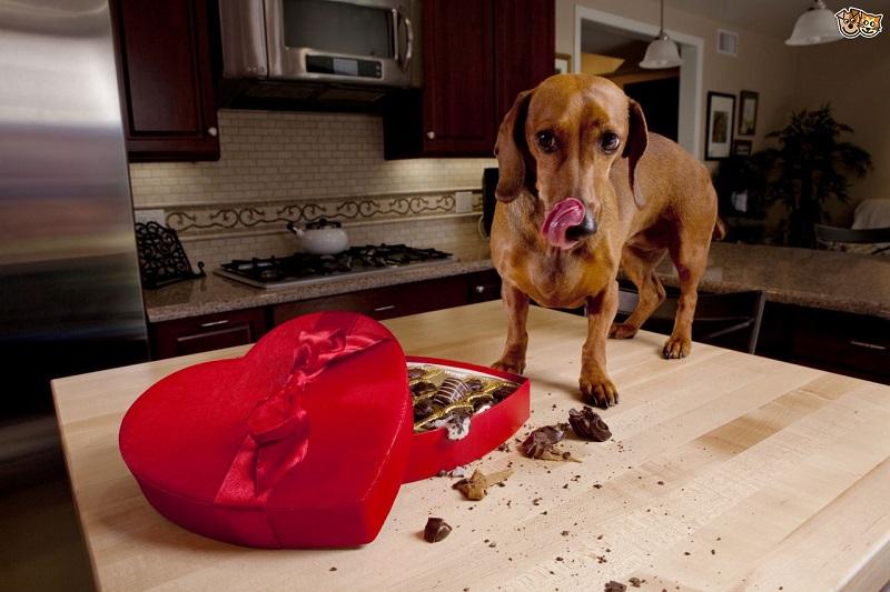 Vì sao không nên cho chó ăn socola ?